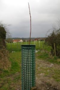 tree rose cot