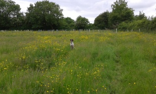 Issy in the buttercups