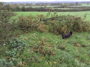 Flo exploring Field Maple