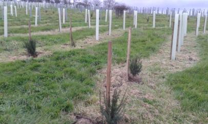 Baby Yew trees!