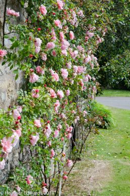 Rose on the wall outside Bridge House - unknown variety