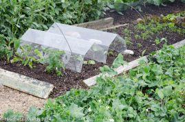 Charles Dowding's garden at Homeacres