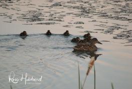 ducklings 1