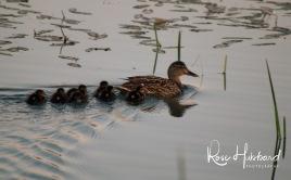ducklings 3