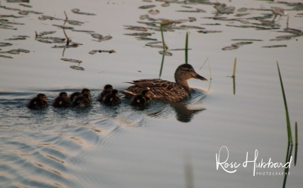 ducklings 3
