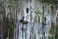 ducklings 5